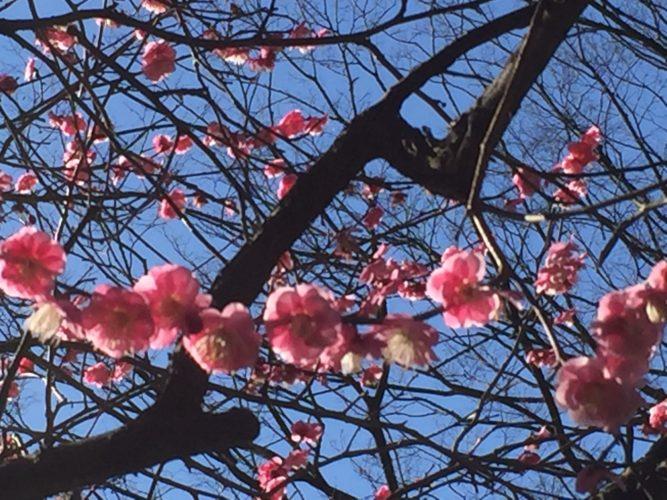 170207横浜の梅